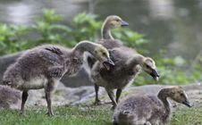 Free Canada Goose (Branta Canadensis) Stock Photos - 20003753
