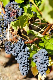 Free Red Grapes Royalty Free Stock Photo - 20004735