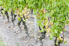 White Grape In Vineyard Stock Photos