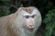 Free Monkey Royalty Free Stock Photos - 20006538