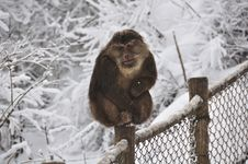 Free Monkey In The Snow Royalty Free Stock Images - 20006729