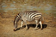 Free One Zebra Royalty Free Stock Image - 20006786