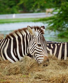 Free Two Zebras Stock Photos - 20006843