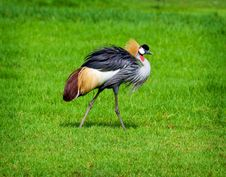 Free Crowned Crane Royalty Free Stock Image - 20006936