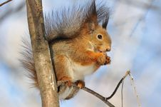 Free Red Squirrel. Stock Photo - 20007040