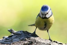 Free Blue Tit Royalty Free Stock Image - 20007506