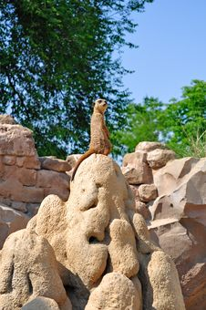 Free Meerkat Royalty Free Stock Photo - 20007515