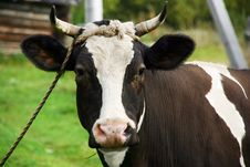 Free Cow Portrait Royalty Free Stock Photos - 20007558