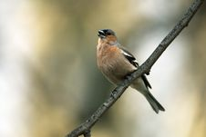 Free Chaffinch Male Royalty Free Stock Images - 20007649