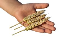 Free Hand Holding Wheat Grain Royalty Free Stock Photos - 20007848