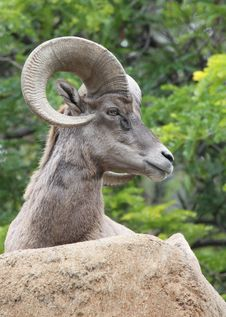 Free Bighorn Sheep Stock Images - 20008344