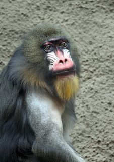 Free Mandrill Royalty Free Stock Photo - 20008545