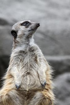 Free Meerkat Stock Photography - 20008572