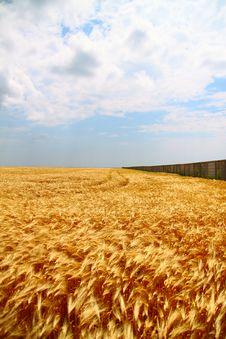 Free Yellow Wheat Field Royalty Free Stock Photography - 20008717