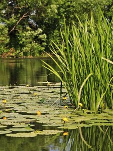 Free Quiet Summer River With Yellow Water Lilies Stock Photography - 20008782