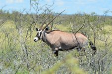 Free Gemsbok Oryx Gazelle Royalty Free Stock Photography - 20008907