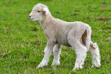 Free Very Young Lamb Royalty Free Stock Photo - 20009115