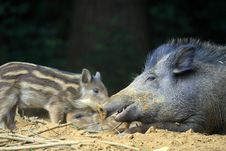 Free Boars Royalty Free Stock Images - 20009689