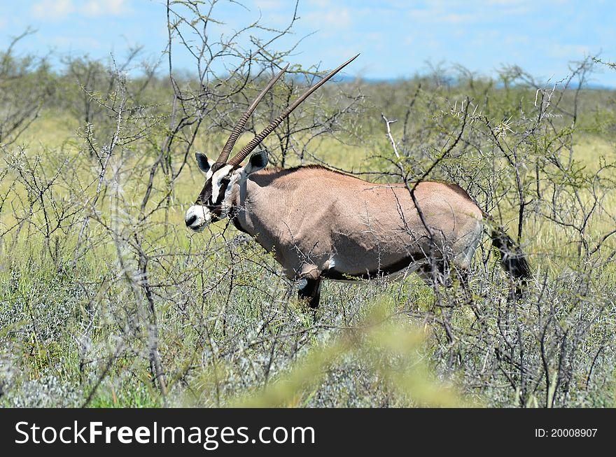 Gemsbok oryx gazelle