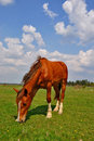 Free Horse On A Summer Pasture Stock Photos - 20011843