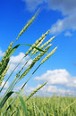 Free Green Wheat Royalty Free Stock Images - 20015809