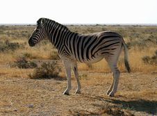 Free Etosha Zebra 1 Stock Photography - 20011112