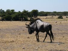 Free Black Wildebeest In Etosha Park Royalty Free Stock Image - 20011116
