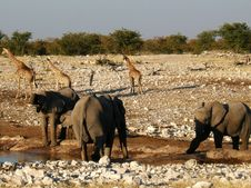 Free Elephants And Giraffes At Water Hole Stock Image - 20011151