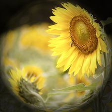 Free Sunflower Field Royalty Free Stock Images - 20011639