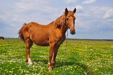 Free Horse On A Summer Pasture Royalty Free Stock Photos - 20011928