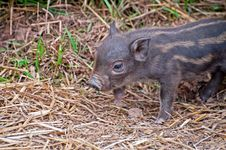 Free Beautiful Piglet Stock Image - 20013391