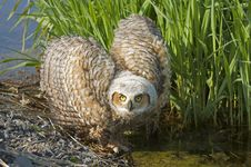 Great Horned Owlet Royalty Free Stock Image