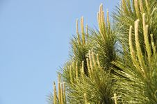 Free Pine Tree Royalty Free Stock Image - 20013536