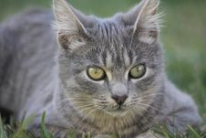 Free Grey Cat Royalty Free Stock Photos - 20013628