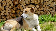 Beautiful Dog Lying On A Grass About Fire Wood. Stock Photography