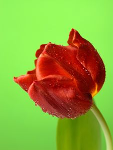 Free Beautiful Red Tulip Flower Stock Images - 20014764