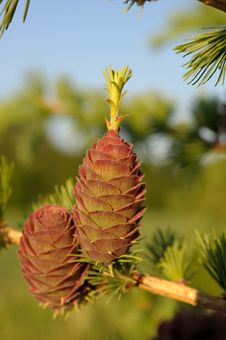 Larch Strobiles Royalty Free Stock Photos