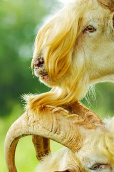 Free Two Yellow Goats Stock Images - 20015474