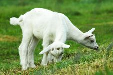 Free Two Baby Goats Royalty Free Stock Photo - 20015485