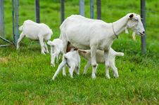 Free Baby Goats With Mum Royalty Free Stock Photos - 20015488