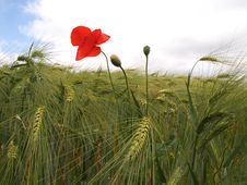 Free Barley And Red Poppy Stock Images - 20015654