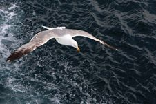 Free Seagull Hunting Over The Blue Sea Royalty Free Stock Image - 20017686