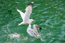Free Seagulls Fighting Stock Images - 20017724