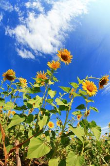 Free Sunflowers Field Royalty Free Stock Images - 20017969