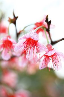 Free Pink Prunus Cerasoides Stock Photos - 20018183
