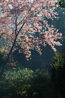 Free Pink Prunus Cerasoides Stock Images - 20018794