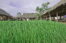Free Rice Farm Stock Photo - 20019190