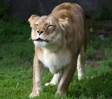 Free Lioness Royalty Free Stock Photography - 20019547