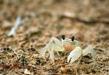 Free Sand Crab Stock Photo - 20019690