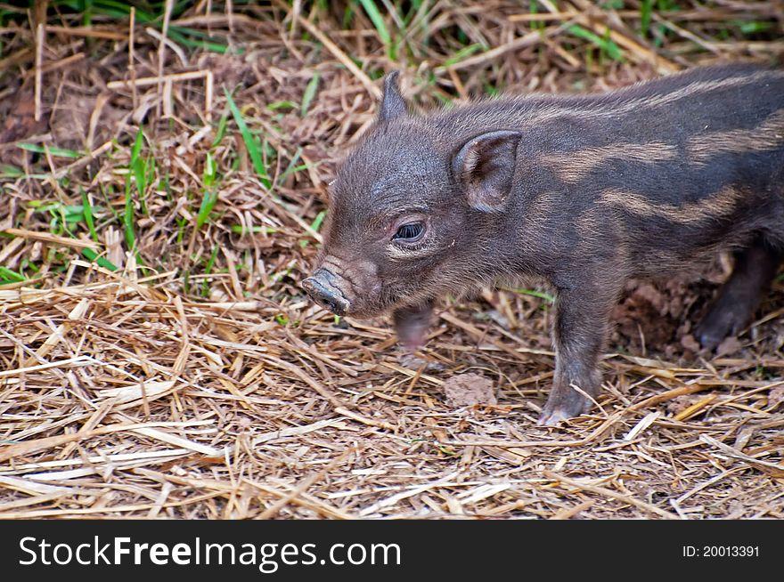 Beautiful Piglet